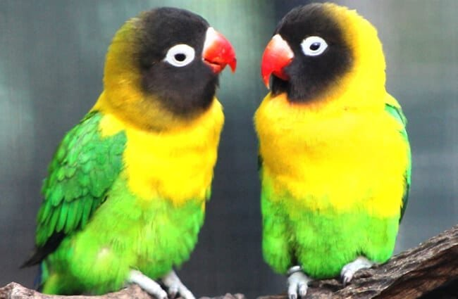 Lovebird-4-650x425
